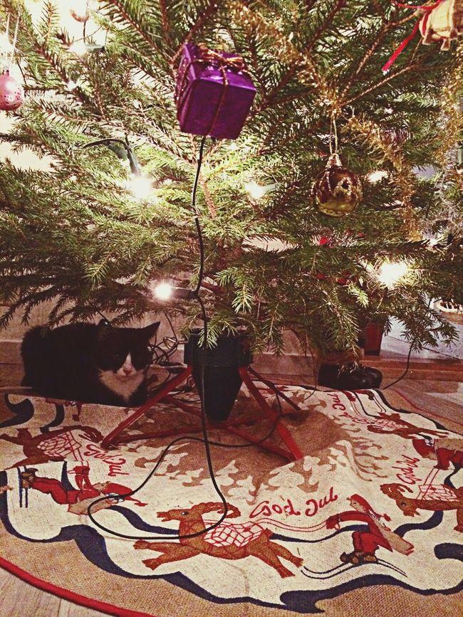 Cat Under Christmas Tree ??