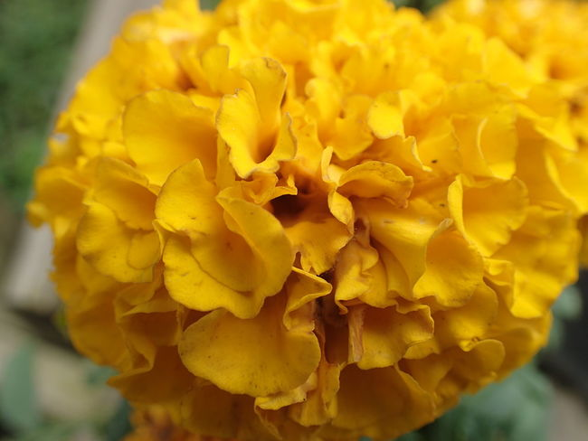 Blooming Close-up Flower Flower Head Focus On Foreground Fragility Freshness Nature Petal Plant Yellow