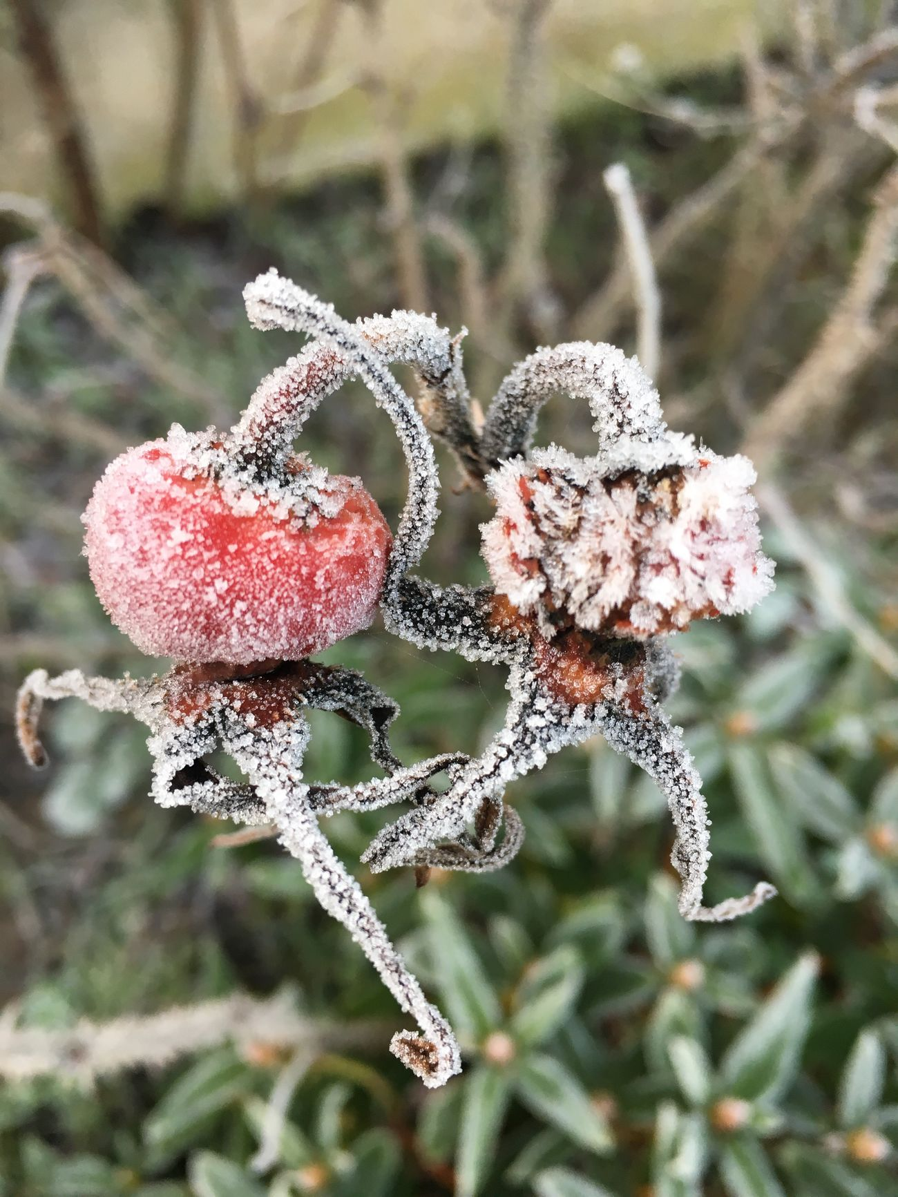 Garden Flowers,Plants & Garden Rose Hips Frosty Mornings Wintertime Cold Temperature Icy Day