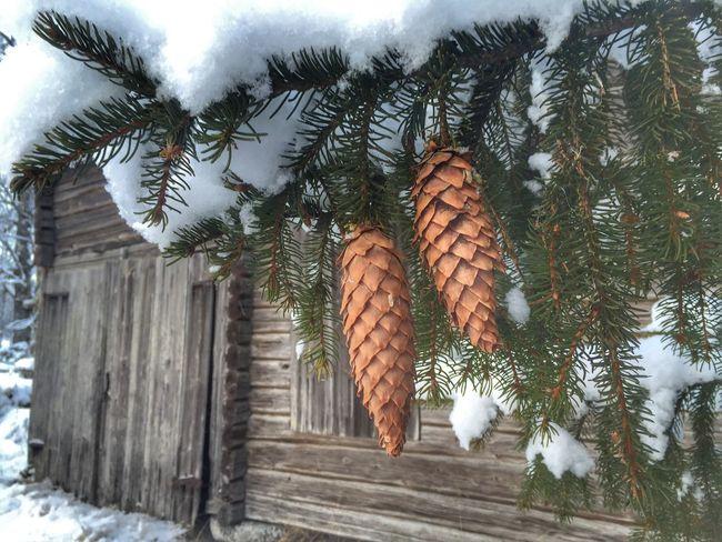 F⃣I⃣R⃣ C⃣O⃣N⃣E⃣S⃣ ❄️💙❄️ It's Cold Outside Vackra Dalarna Showcase: January EyeEm Best Shots Tadaa Community EyeEm Nature Lover