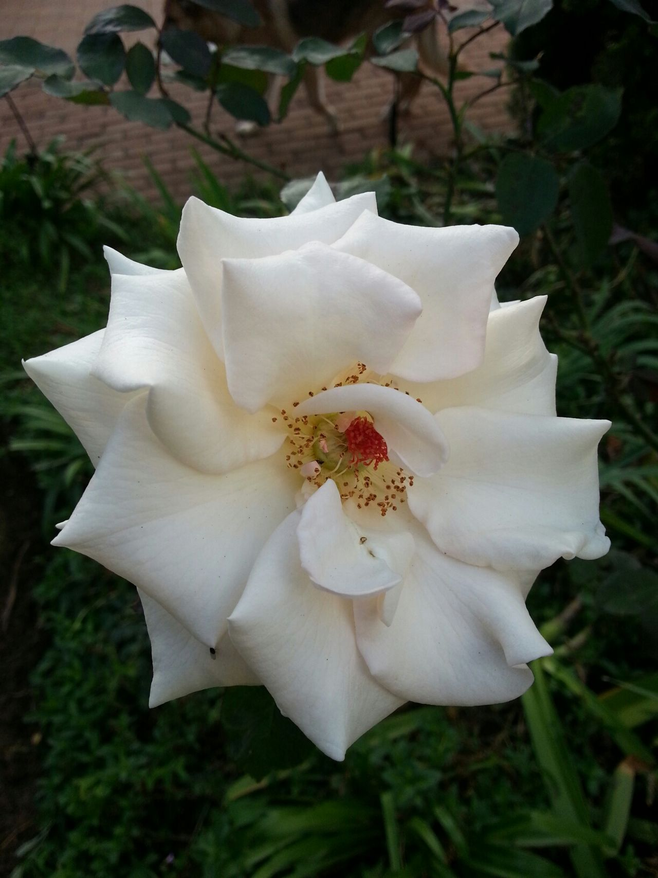 Jesus Christ Is Lord Of Creation Beauty Magnificent Rose Of Sharon