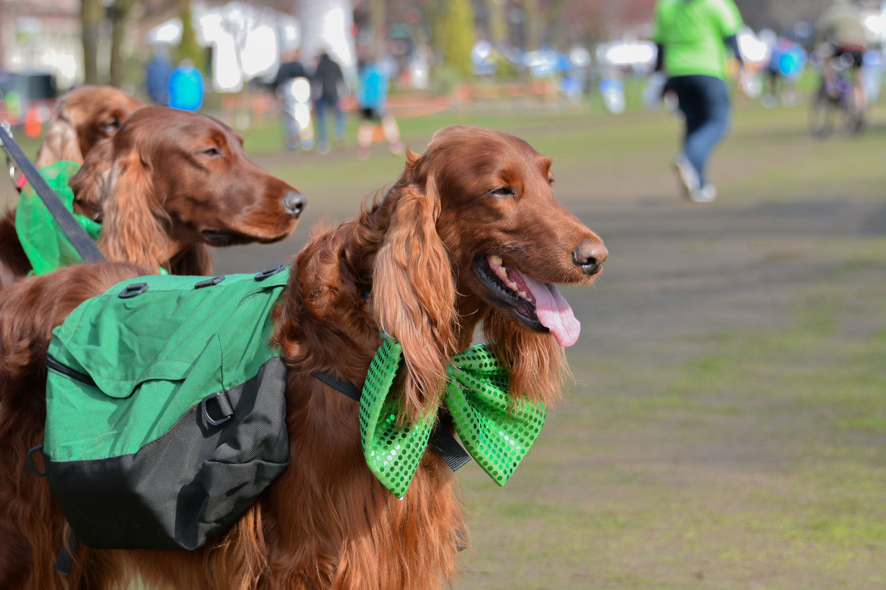 Animal Themes Close-up Day Dog Domestic Animals Focus On Foreground Golden Retriever Irish Setter Mammal Outdoors People Pets Retriever St Patrick's Day