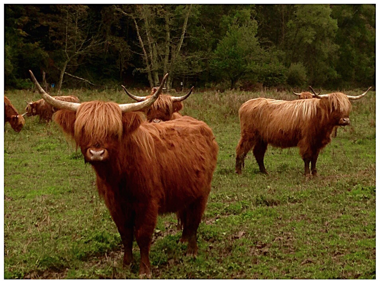 animal themes, domestic animals, mammal, field, grass, highland cattle, horned, livestock, no people, nature, cattle, standing, cow, outdoors, day, full length, tree