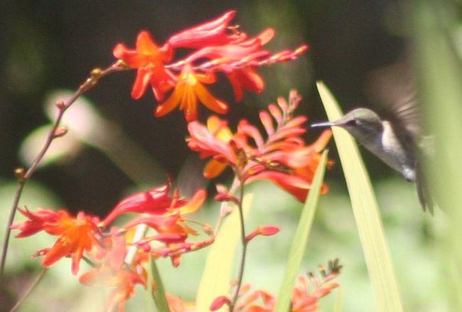 Hummingbird Birdwatching Birds In Flight Bird Photography Hummingbirds Flowersandbirds Flowers,Plants & Garden Flowers, Nature And Beauty Flower Photography Hummingbirds Flowers Humming Bird Flying