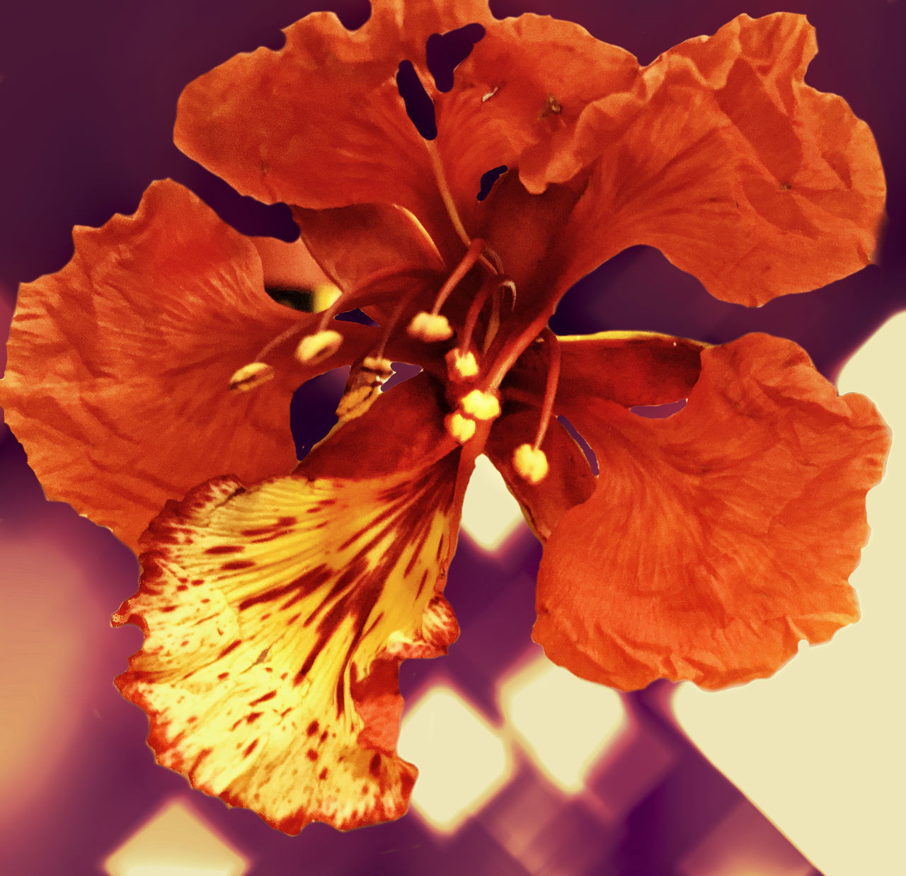Beauty In Nature Close-up Day Day Lily Flower Flower Head Fragility Freshness Growth Hibiscus Nature No People Outdoors Petal Plant Soft Focus Stamen