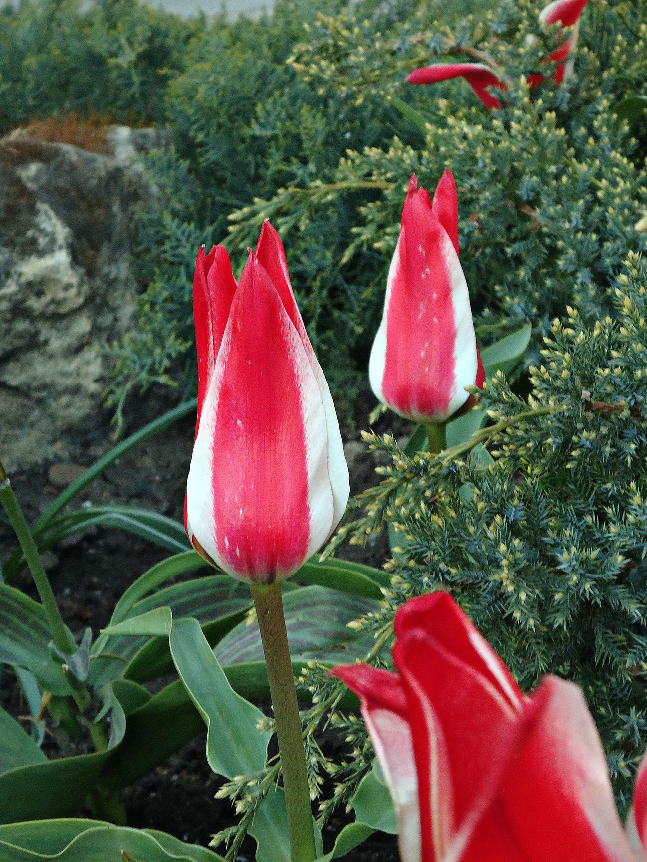 April Flowers Red & Green Red & White Striped Tulips Spring Tulips