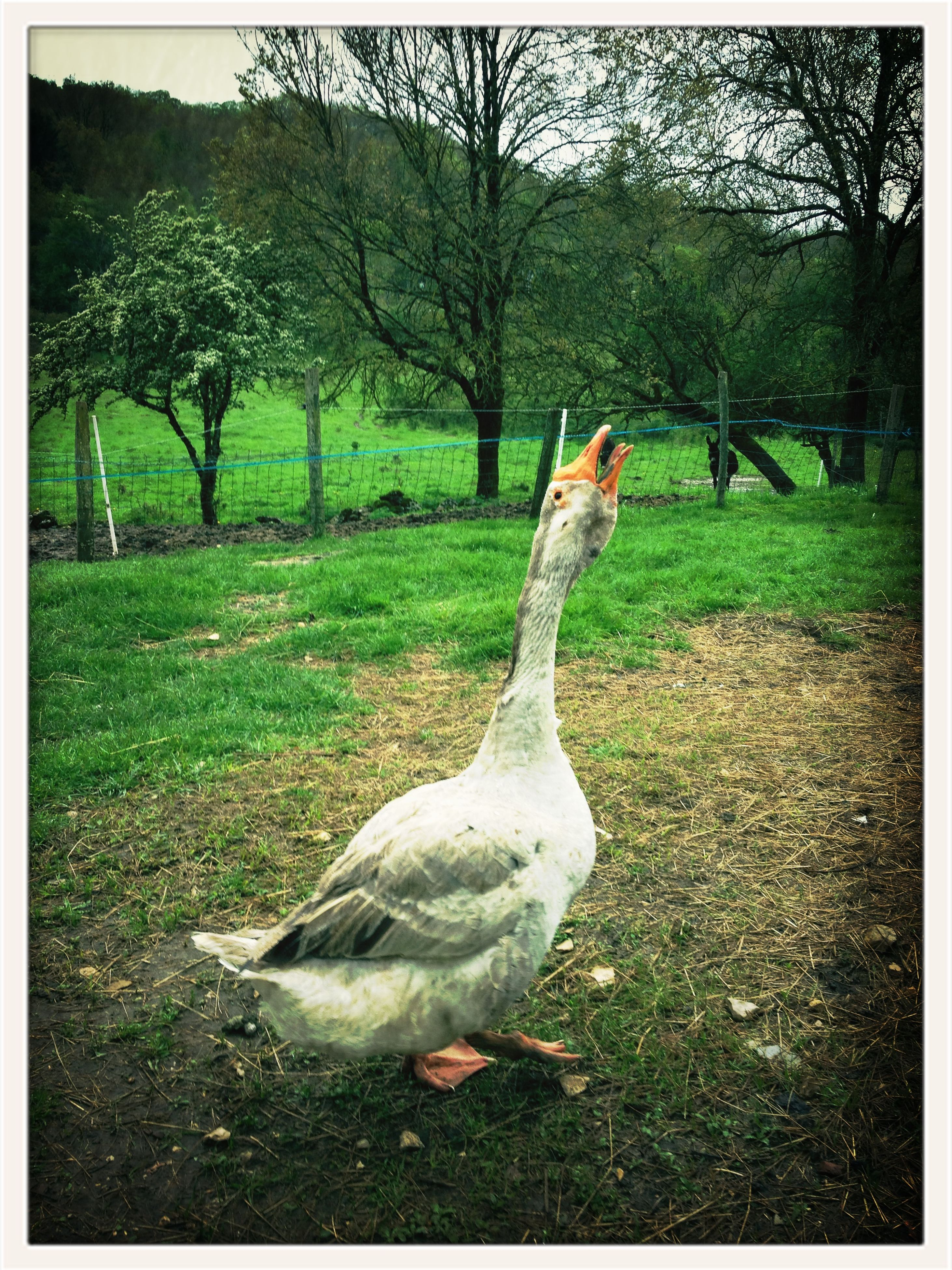 bird, animal themes, transfer print, animals in the wild, wildlife, grass, auto post production filter, field, tree, duck, nature, green color, grassy, side view, full length, beak, outdoors, two animals, day, no people