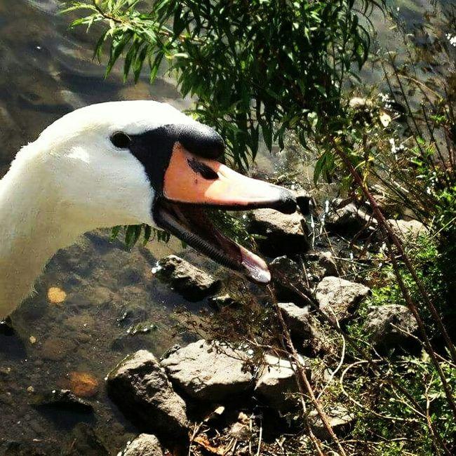 I love this shot I got of this beautiful lad! Duck Swan Iloveducks Duckface