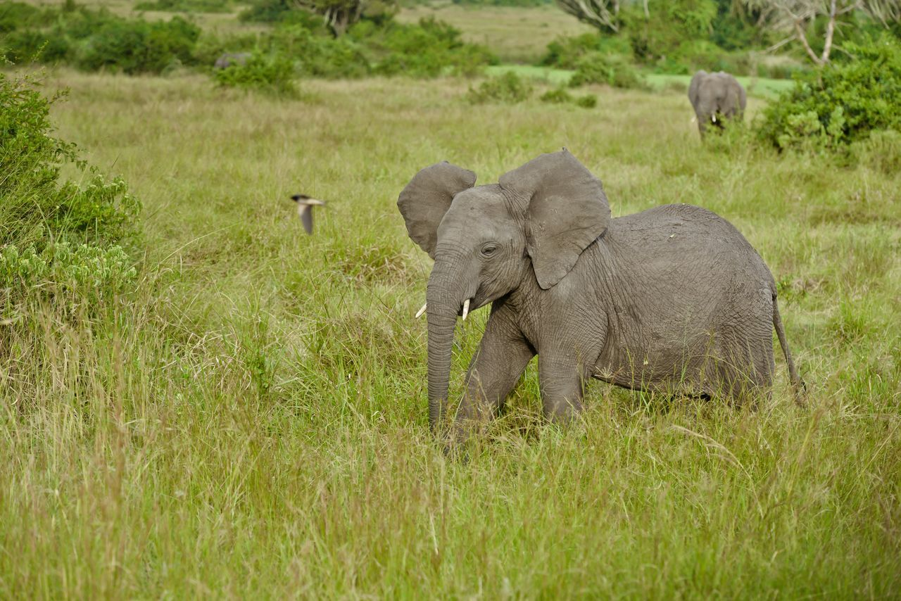 Young Elephant In Tall Grass