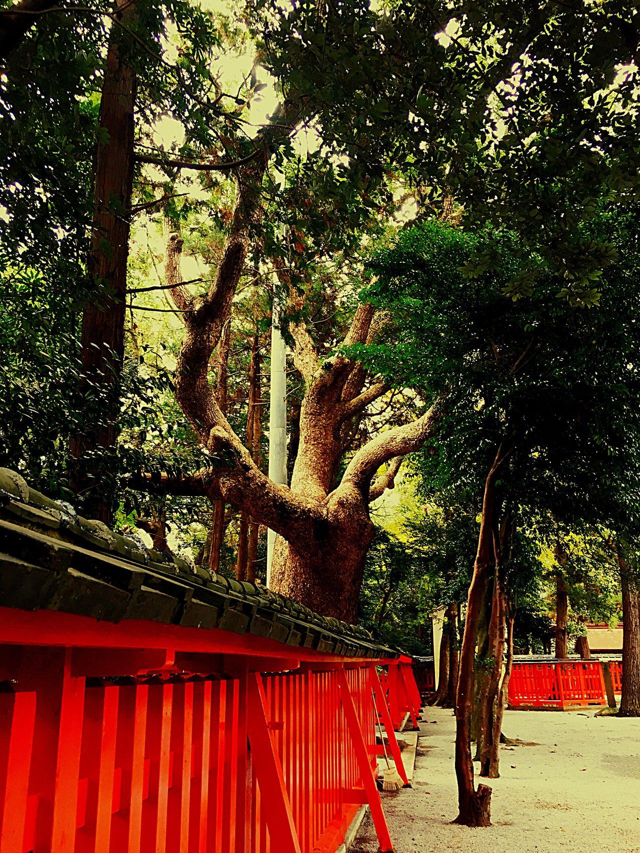 香椎宮2〜 Shrine Tree Japanese Shrine Japanese Culture Spiritual Spirituality Eyeemphotography Spritual Journey Shrine Of Japan Nature TreePorn Red Fukuoka,Japan