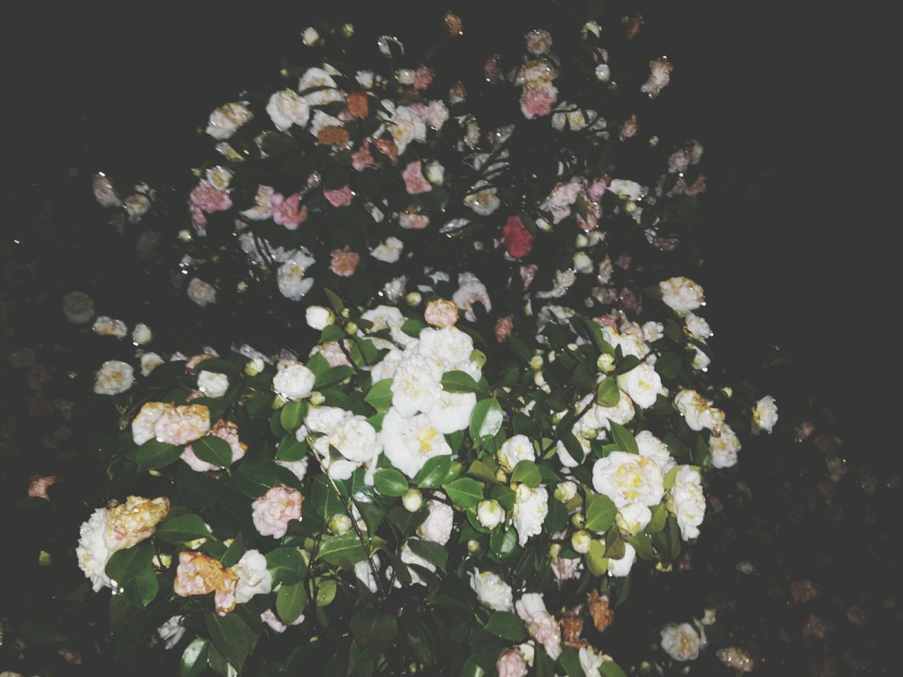 Flower Nature Beauty In Nature Growth Freshness Fragility Petal Plant Flower Head No People Outdoors Day Camellia Beauty In Nature Plant Growth Springtime Nature Blossom Branch