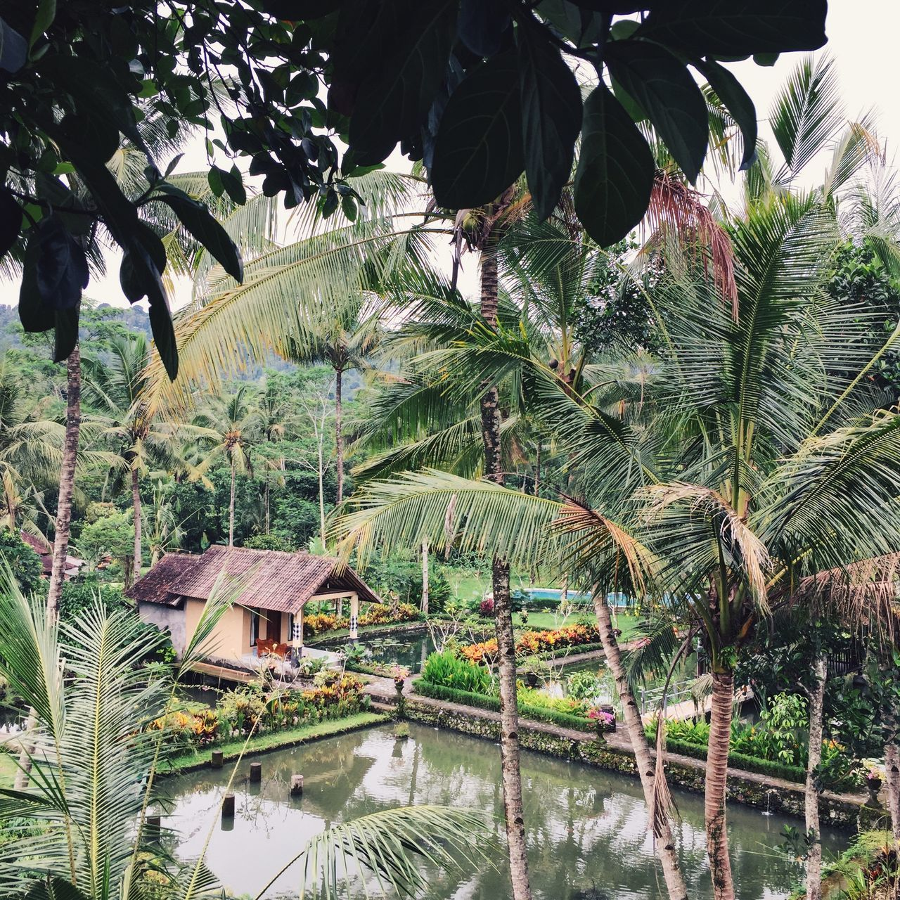 House in the jungle in Sidemen, Bali, Indonesia. Bali Bali, Indonesia Banana Tree Beauty In Nature Day Green Green Color Growth INDONESIA IPhone IPhoneography Jungle Nature No People Outdoors Palm Tree Palm Tree Plant Rice Field Sidemen South East Asia Square Tree Water