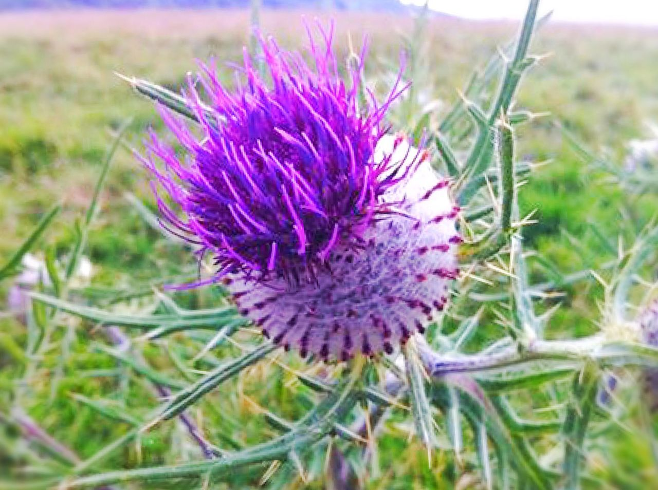 Scottish Thistle Vibrant Color Flower Purple Nature Field Growth Beauty In Nature Plant Thistle Fragility Outdoors No People Freshness Blooming Close-up Sharp Selective Focus Macro Olivers Fort Heritage