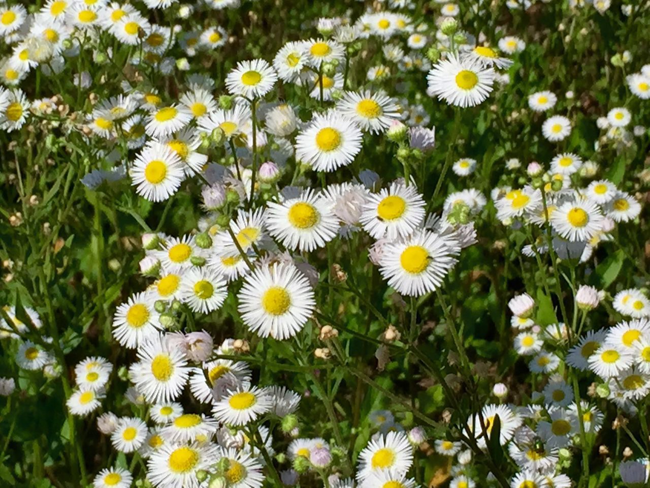 flower, petal, fragility, nature, flower head, growth, beauty in nature, yellow, plant, daisy, freshness, blooming, day, no people, outdoors, close-up