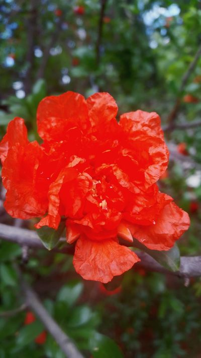 Flower Red Nature Beauty In Nature Flower Head Plant Fragility No People Wild Rose Close-up Freshness Flowertree Redflower🌺 Springtime Blossom Freshness
