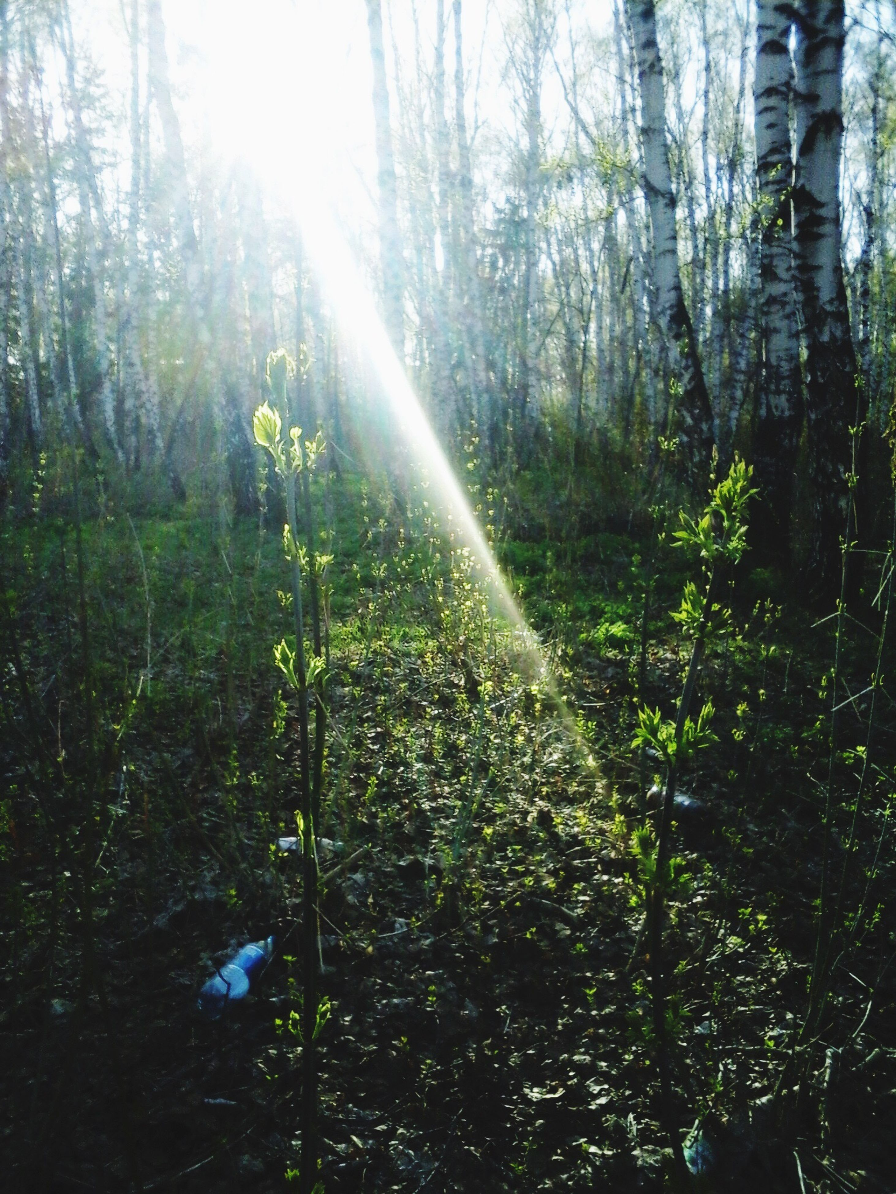 tree, sunbeam, sun, forest, growth, tranquility, sunlight, lens flare, tree trunk, nature, tranquil scene, beauty in nature, woodland, scenics, sunny, non-urban scene, day, plant, green color, bright