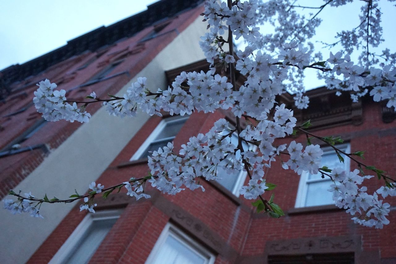 Brooklyn, NY Urbanexploration No People Architecture_collection Building Exterior Blossom Low Angle View Brownstones Sakura Cherry Blossoms Hanami