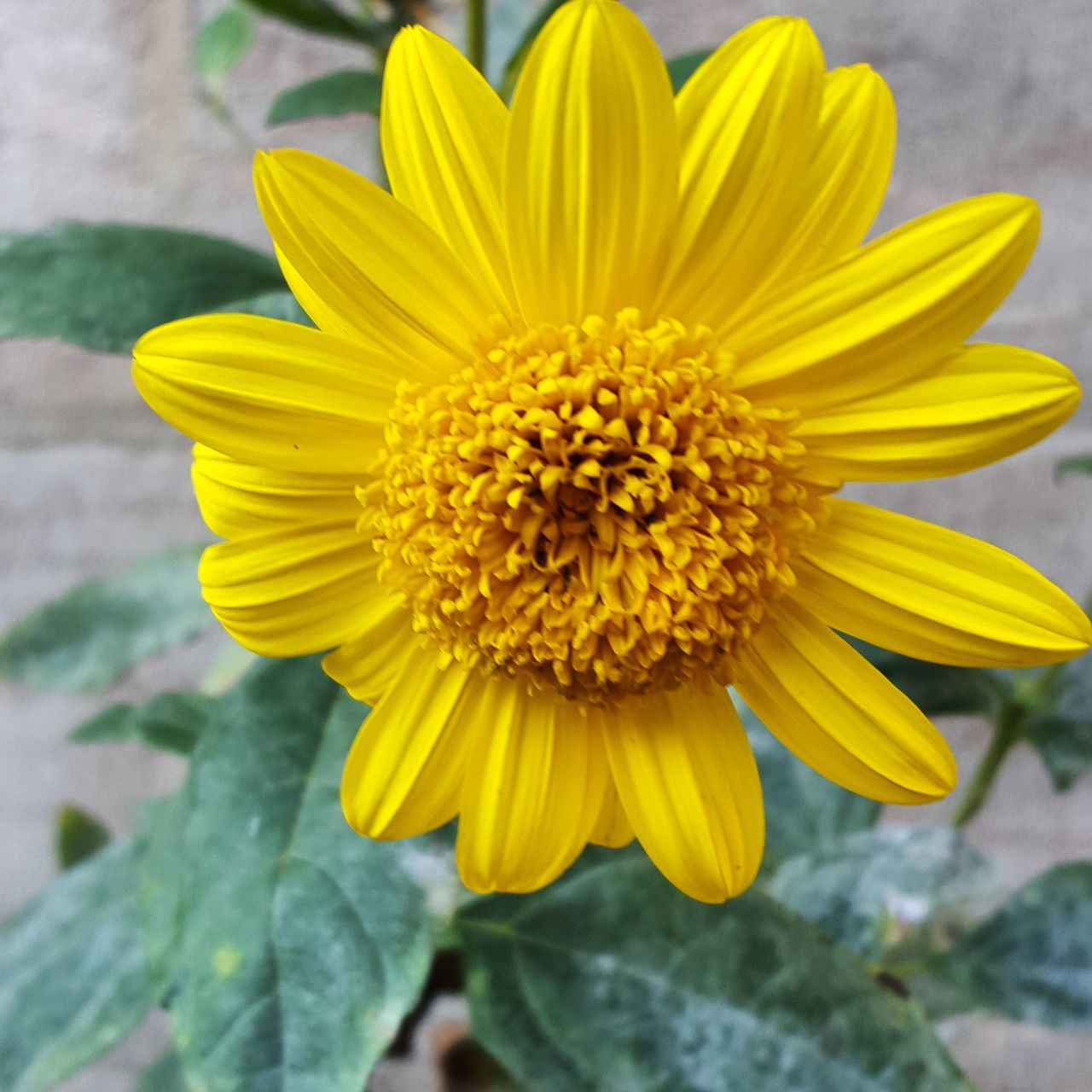 flower, yellow, petal, fragility, flower head, freshness, beauty in nature, nature, day, plant, outdoors, close-up, growth, no people, blooming, focus on foreground, pollen, gazania, sunflower, springtime
