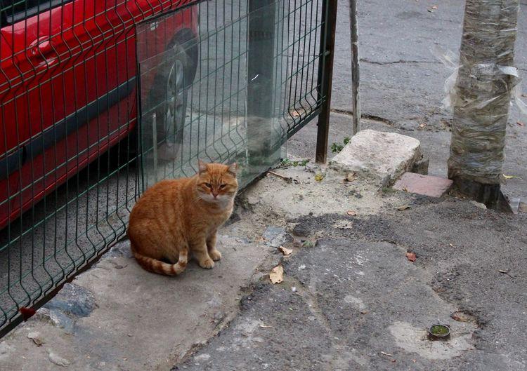 Animal Themes Cat City City Life Domestic Animals Domestic Cat Feline Istanbul Istanbul Cats Istanbul Life No People One Animal Orange Cat Outdoors Pets Red Cat Stray Cat Street Street Animals