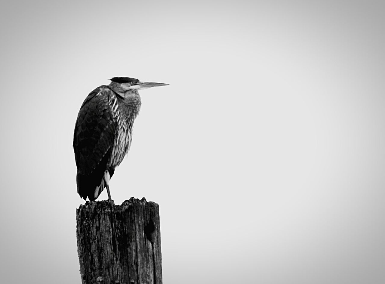 bird, perching, animal themes, animals in the wild, one animal, animal wildlife, no people, day, wooden post, outdoors, close-up, nature