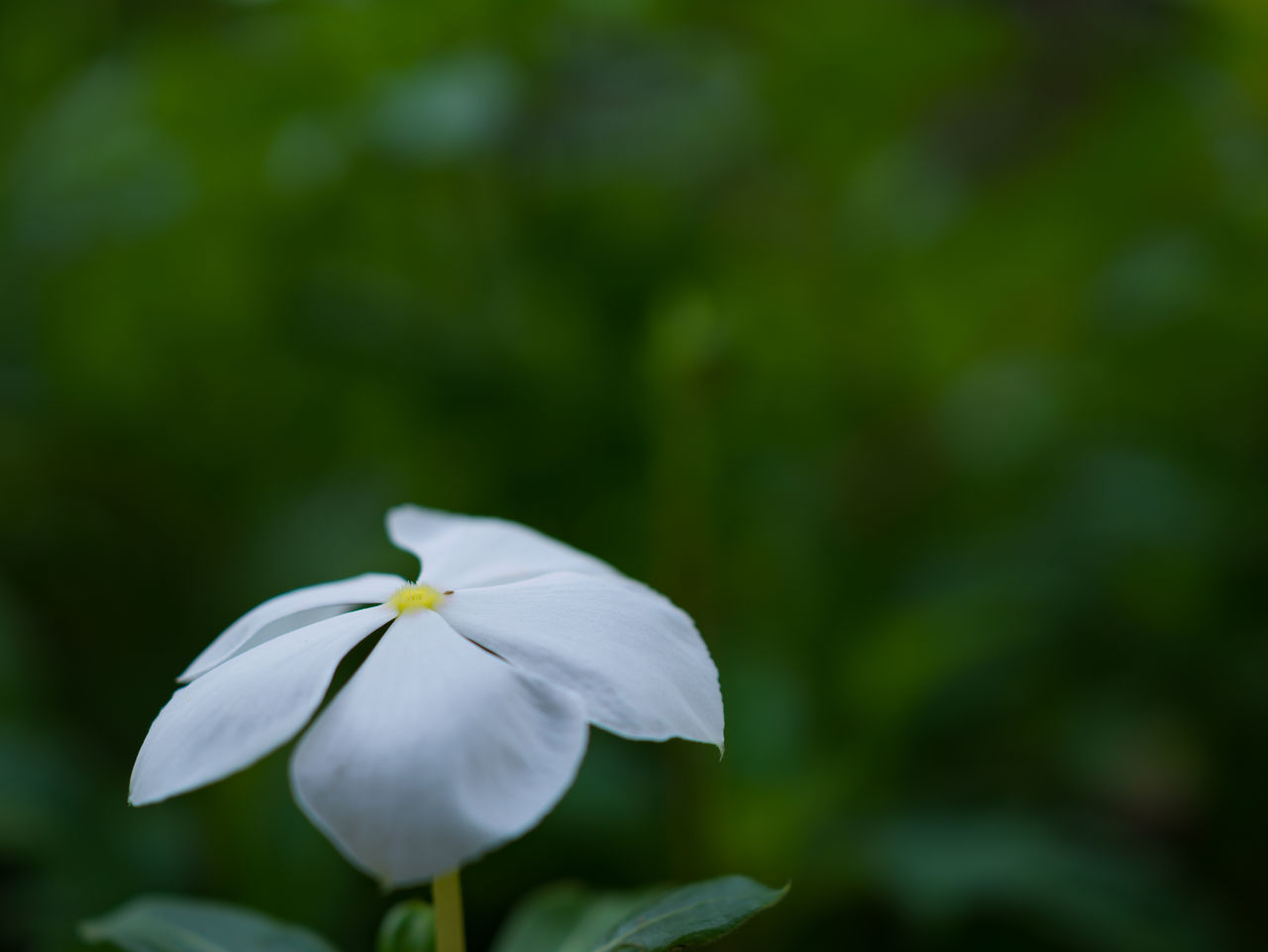 White flower on green background.Closeup one white flower Background Beautiful Bloom Botanic Close-up Color Detail Flora Floral Flower Growth Leaf Nature Petal Plant Single Flower Small Soft Space White