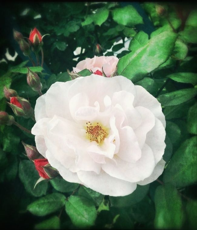Rose Parisienne