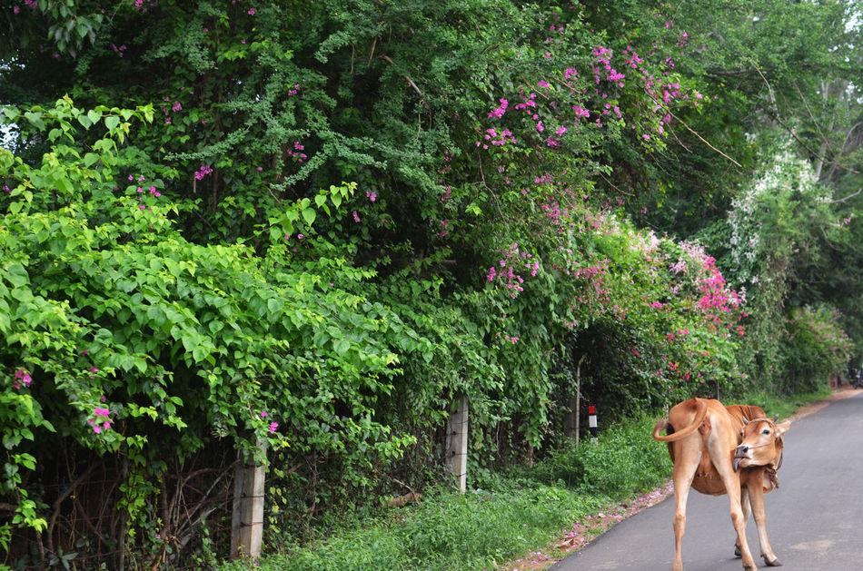 Beautiful stock photos of kühe, Animal Themes, Cow, Day, Domestic Animals