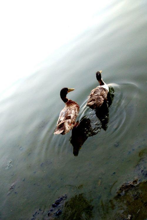 Ducks ❤