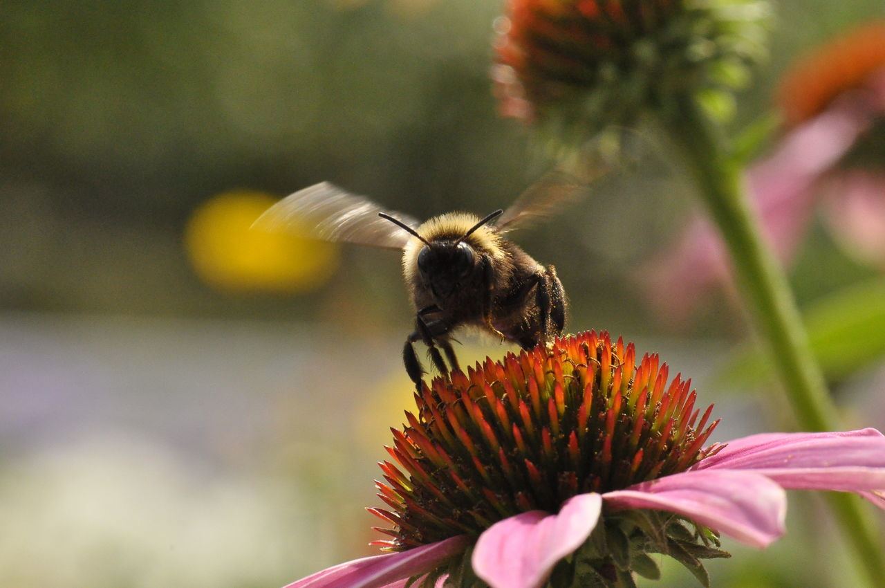Close-Up Of Bee Pollinating On Eastern Purple Coneflower