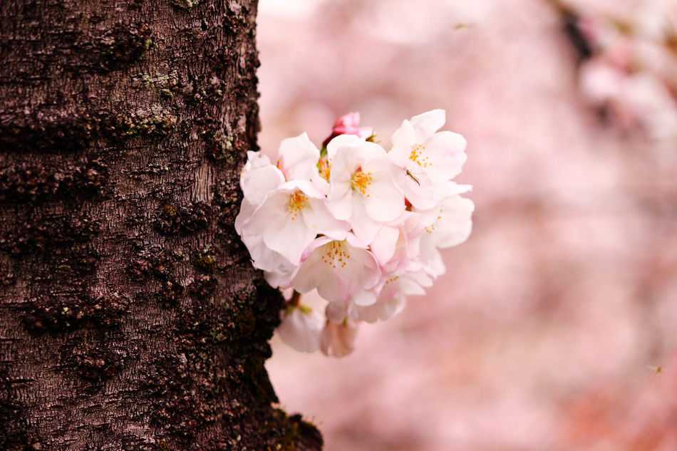 Beauty In Nature Blooming Blossom Cherry Blossoms Close-up Flower Flower Head Fragility Freshness Growth Nature No People Outdoors Petal Pink Flower Springtime Tree