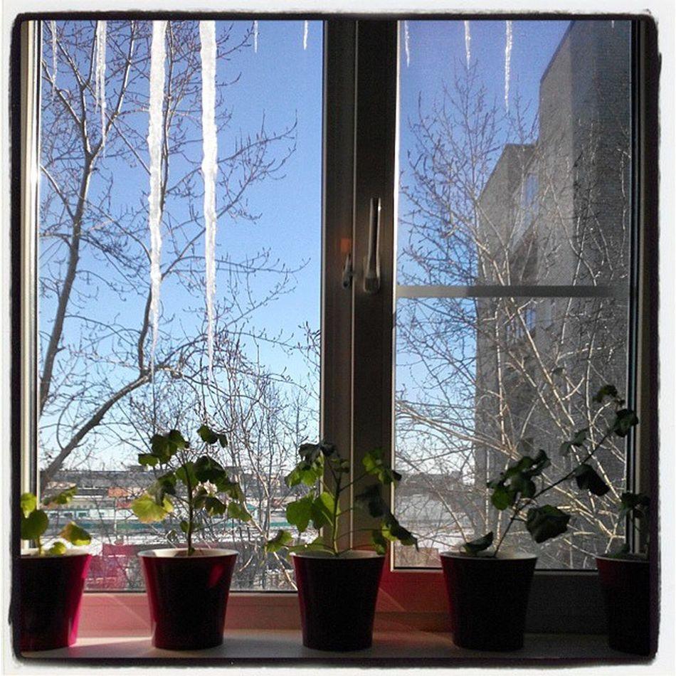 Весеннее окно. Spring window Omsl Siberia Winter Spring Window Flower Icicle Light омск сибирь окно весна сосульки цветы