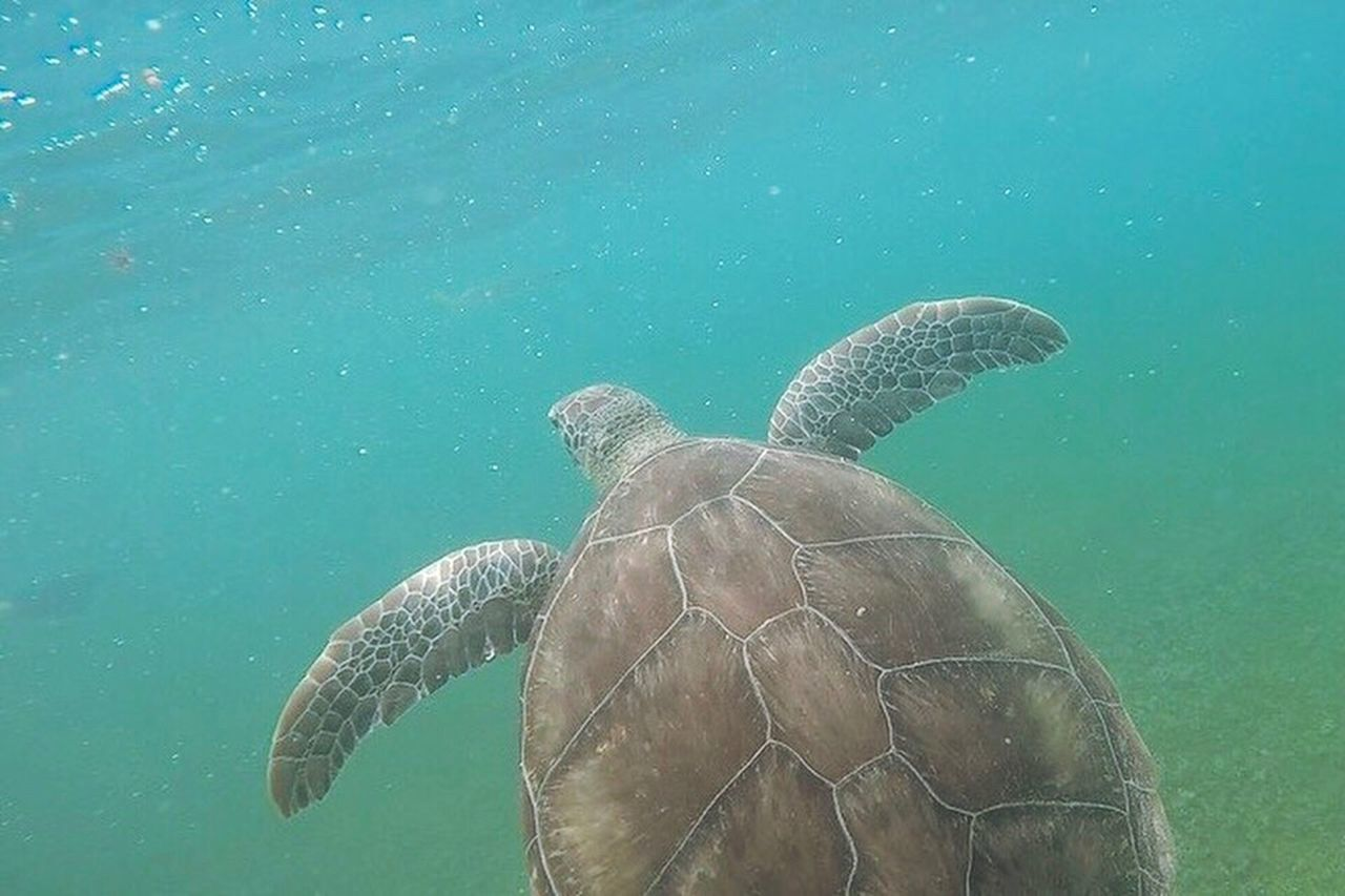 Wrapped up a great vacation by snorkeling with the tortugas! Snorkeling Sea Turtle Turtle Tortuga Sea Nature Ocean Atlantic Ocean Akumal Mexico Gopro Underwater Water Animal Nature Photography