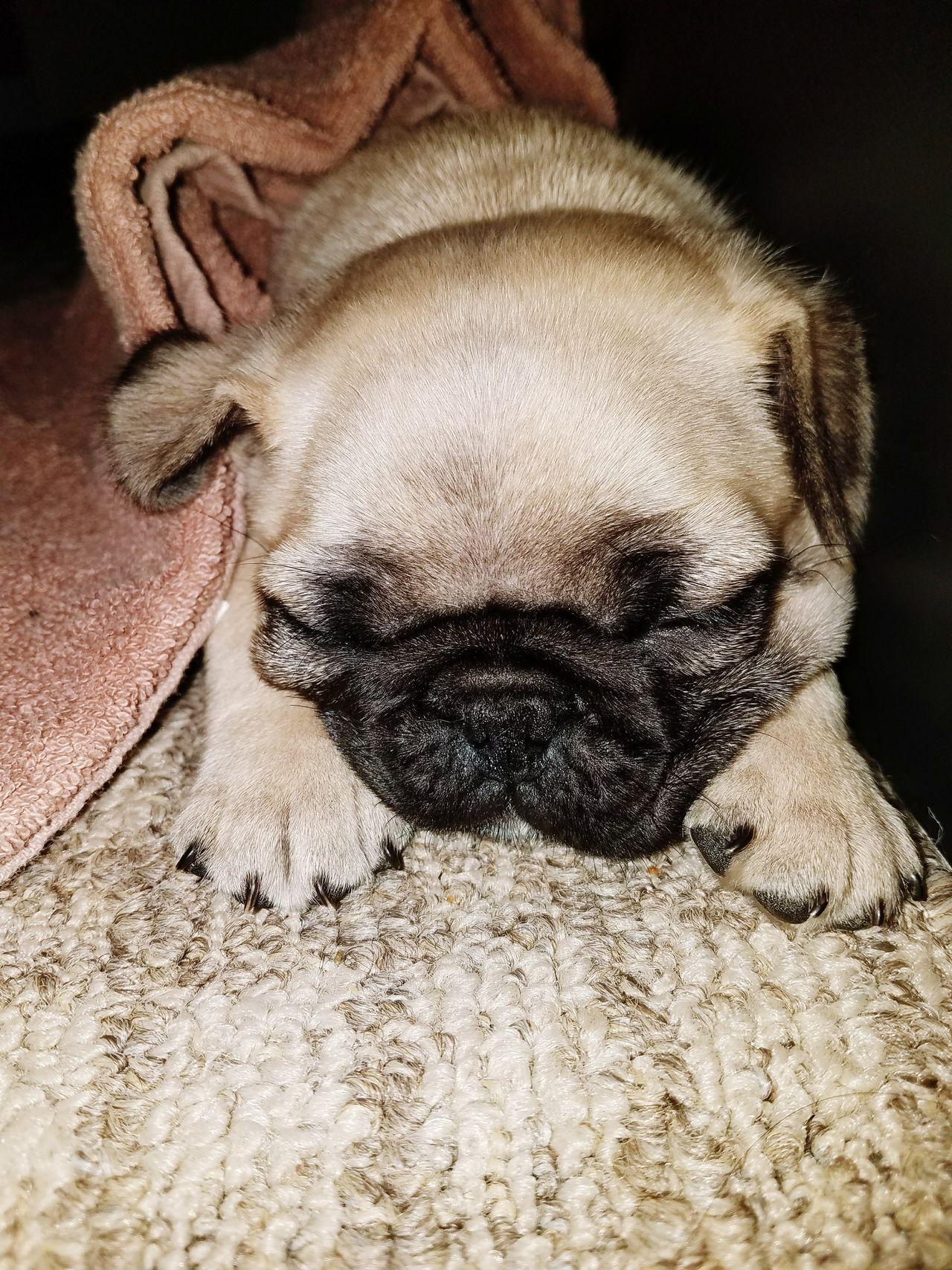 Indoors  Pets Close-up Animal Themes Domestic Animals Pug Girl Pug Sleeping Puglover Pug Puppy Pug Life ❤ Puglife Pug Day Mammal No People Indoors