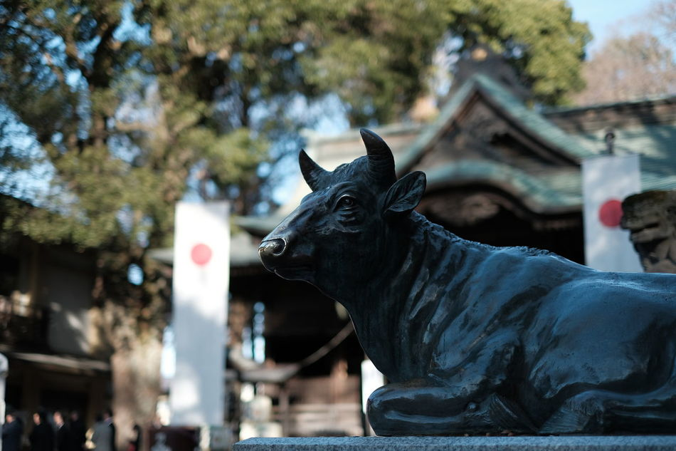 Statue of God's cow in front of a house for worship in a Shinto shrine. Animal Themes Architecture Built Structure Cow Day Japan Mammal New Year New Year Around The World No People One Animal Outdoors Roof Sculpture Shinto Shrine Statue Tokyo Tree Worship Culture Shrine Of Japan Kunitachi