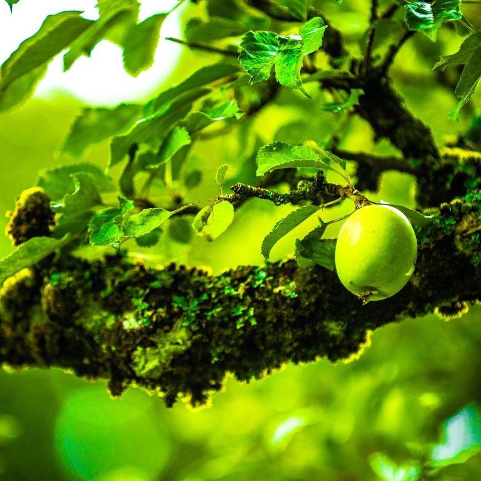 Colour Of Life Apple Tree Apple Rosendal Norway Norway Nature Tree Fruit Maximum Closeness Week On Eyeem