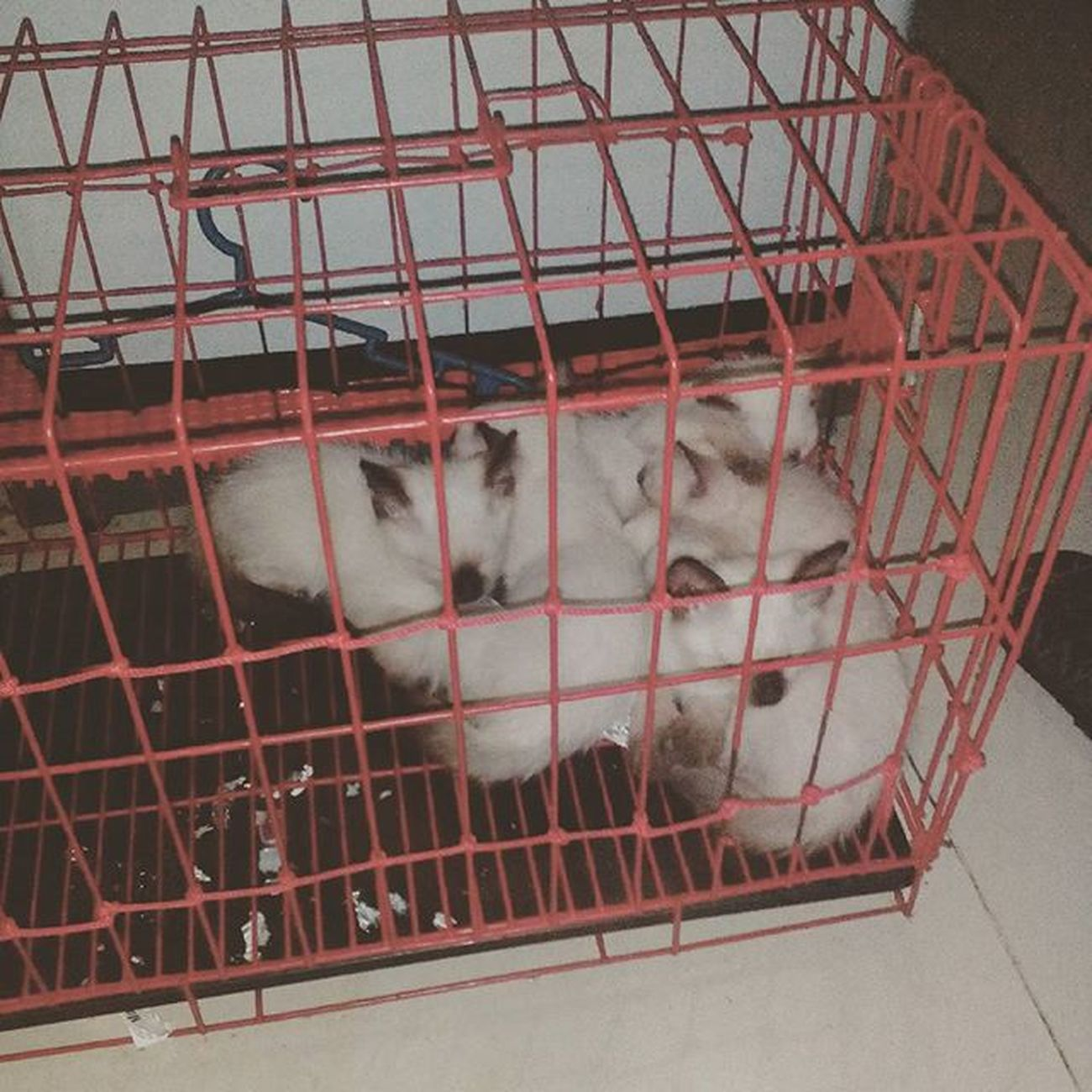 Baby siamese cats for sale. :) Mga anak sila ni Fusa. Siamesecats Catsforsale Pusa Pussycat pussys :D