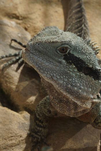 EyeEm Nature Lover Animal Themes Animal Wildlife Animals In The Wild Bearded Dragon Close-up Day Iguana Lizard Nature No People One Animal Outdoors Reptile