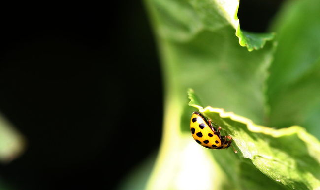 Black & Yellow Botany Close-up Focus On Foreground Ladybug Leaf Macro Beauty Nature No People One Insect Salad Selective Focus
