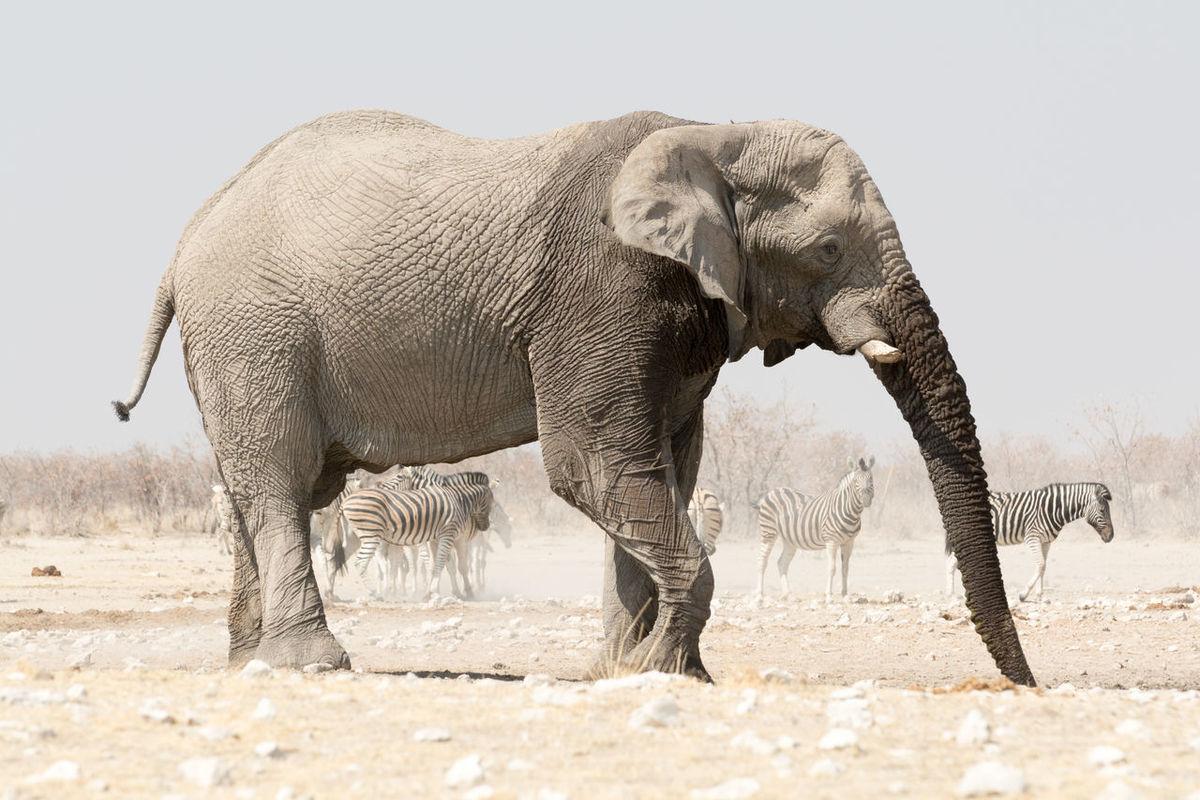 African Bush Elephants in the Etosha National Park, Namibia, Africa Africa African African Bush Elephant Animal Spotting Animal Themes Arid Beauty In Nature Desert Elephant Elephants Etosha Etosha National Park Foto Heat Loxodonta Africana Mammal Mammals Namibia Namibian Safari Southern Southern Africa Wild Animal Wildlife Zoology