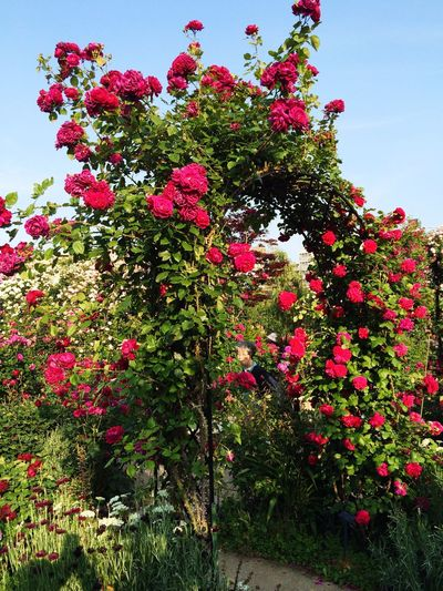 Hello World Rose🌹 Garden Red Rose Nature_collection Flowers,Plants & Garden Naturephotography Happytimes MyGallery Sky Beautiful Nature