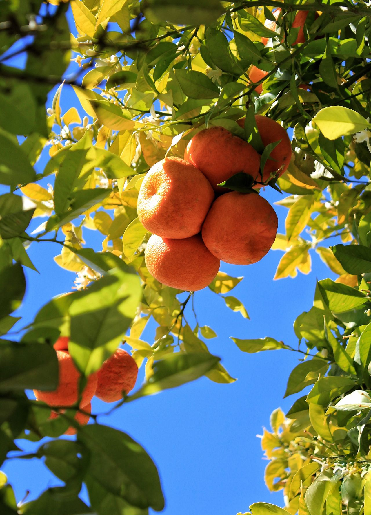 Fruit Growth Tree Leaf Nature Juicy Summer Close-up Branch Food Sky Beauty In Nature Orange Orange Color Oranges Orange Tree Oranges Growing On The Tree Blue Sky Blue Orange Tree And Leaves Orange Tree And Blue Sky Oranges On The Tree Oranges On Tree Green Leaves Green Orange Blue