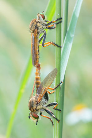 matting time..😉 Mating Season Mating Pair Of Insects Roberfly
