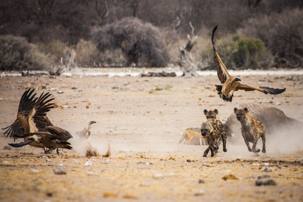 Two hyenas chase a rival from an elephant carcass in Namibia's Etosha National Park. Shot on a Canon 5D Mk II using a 100-400mm lens. Action Africa Animals In The Wild Chase Etosha National Park Hunt Hyena Hyena Clan Hyenas Namibia Nature Nature_collection Outdoors Predator Scatter Vulture Vulture Flying Wild Wildanimal Wildlife Wildlife & Nature Wildlife Photography