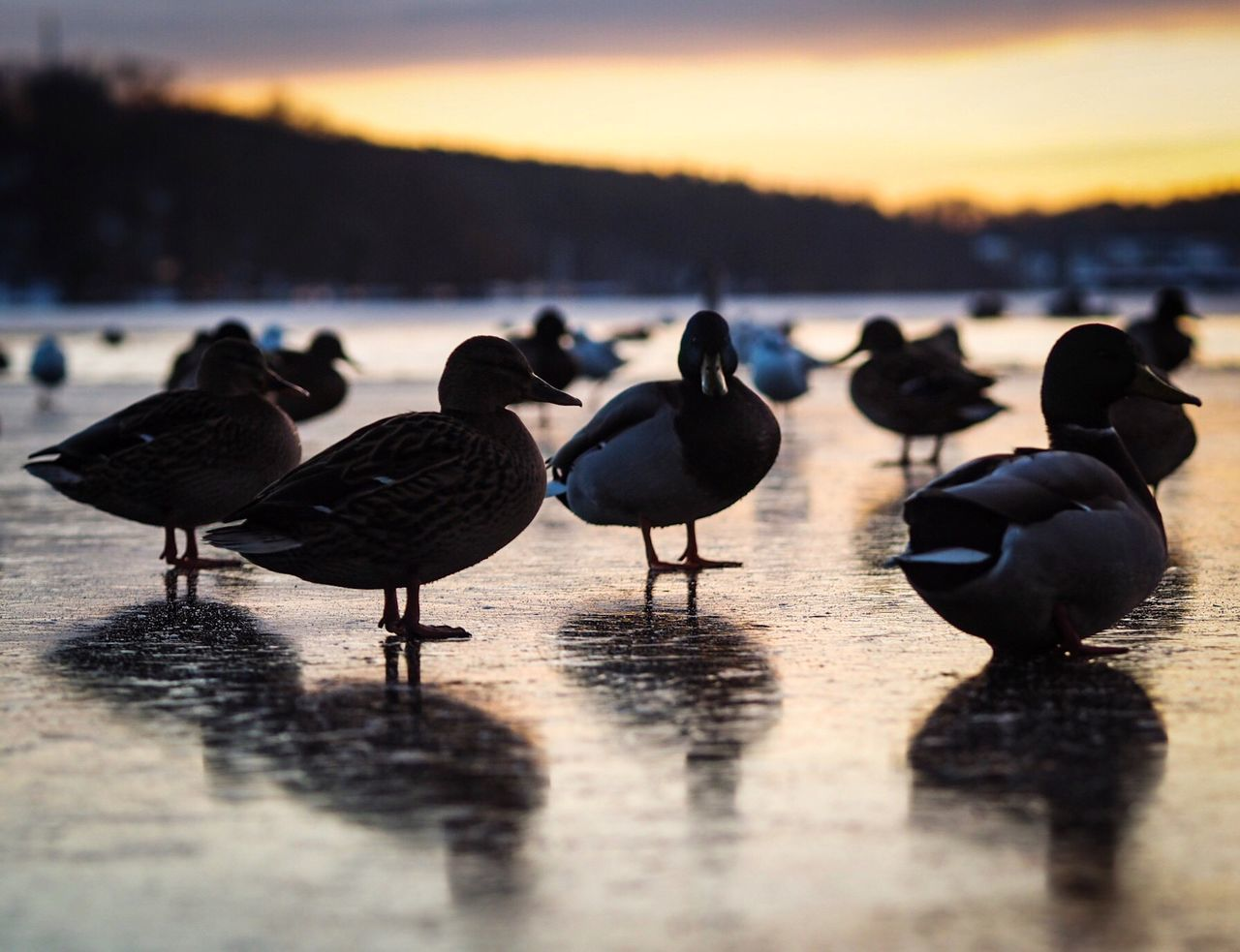 Sunset Water Reflection Bird Sea Nature Animal Wildlife Beach Animals In The Wild Animal Themes Beauty In Nature Ducks Duck Outdoors Olympus OM-D E-M5 Mk.II Olympus Focus On Foreground Full Frame Outside Lake Frozen Lake View Lakeside No People Perching
