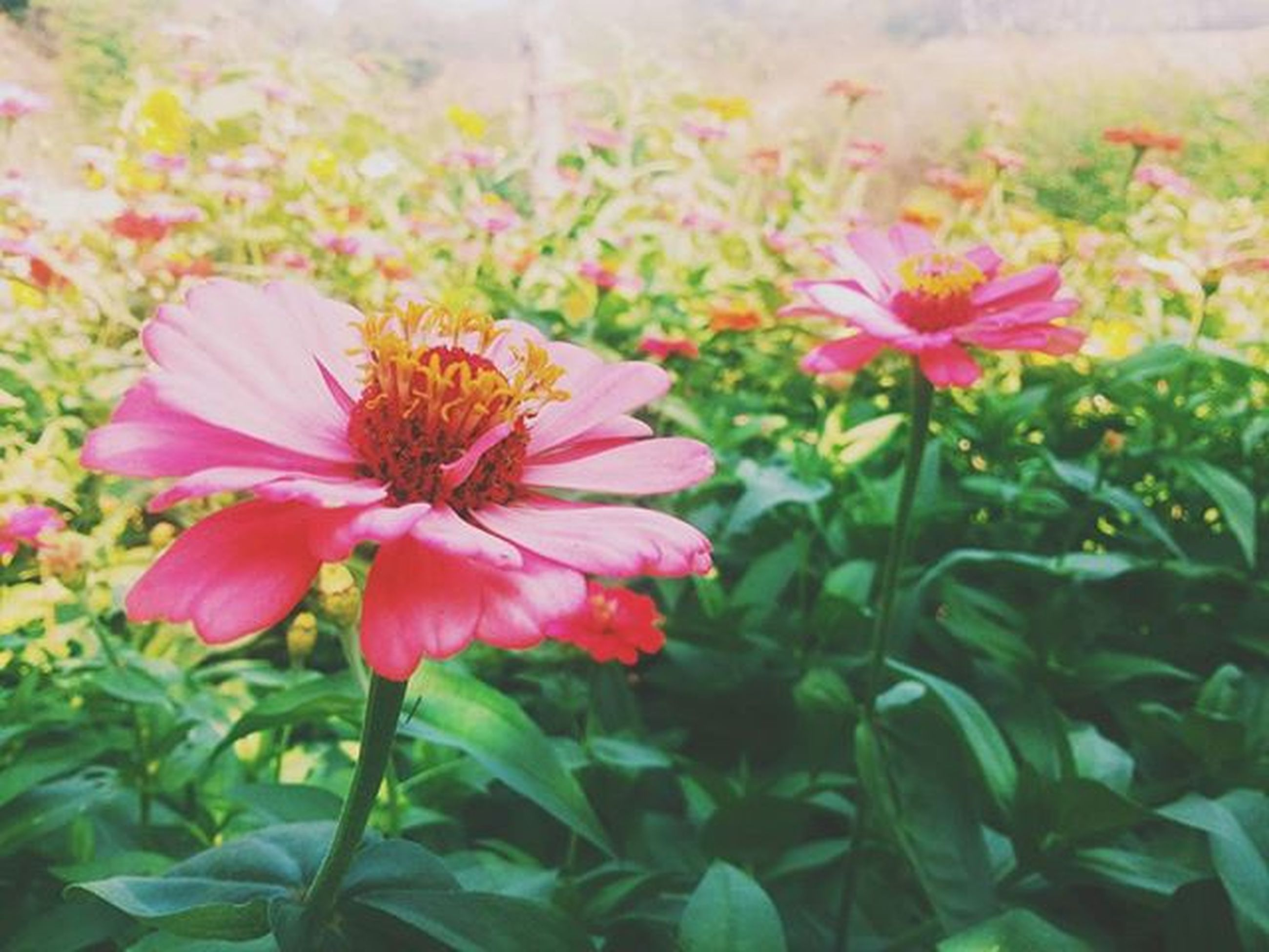 flower, freshness, petal, fragility, flower head, growth, beauty in nature, blooming, nature, plant, focus on foreground, pink color, close-up, in bloom, pollen, blossom, day, park - man made space, outdoors, red