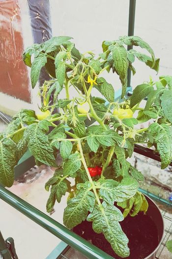 Tomato Plant I Kept It Alive Green Fingers It Didn't Die First Mini Greenhouse Homegrown Tomatoes