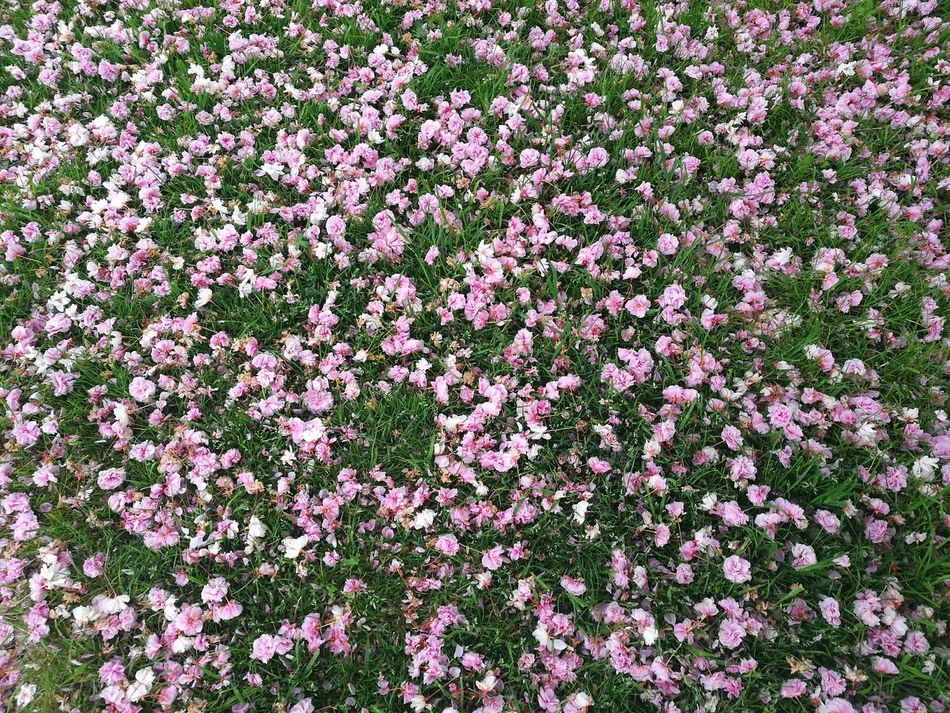 Pink Blossoms Pink And Green Pink Green Spring Colours Freshness Flower Full Frame Nature Beauty In Nature Backgrounds Outdoors Flower Head Fragility Growth Pink Color P9 Huawei Springtime Flowers,Plants & Garden Garden Photography Pink Flowers Green Grass Fallen Blossoms Petal Spring Blossoms April