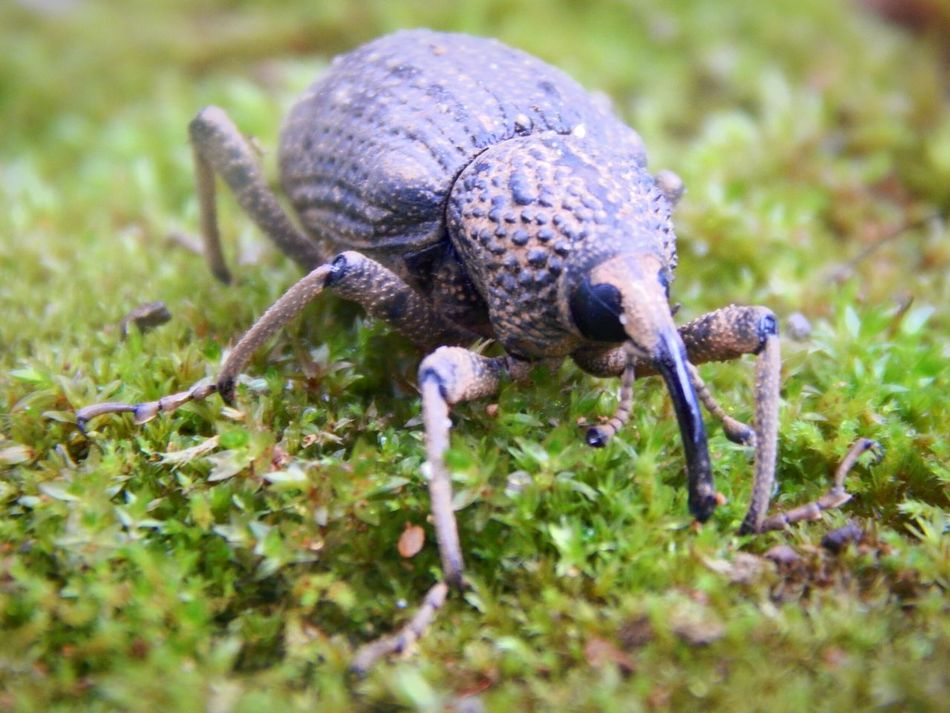 Elephant Beetle Ure Diversities Insect Nature Photography Tiny Nature Rare Beauty Eyeem Edit Macro_captures