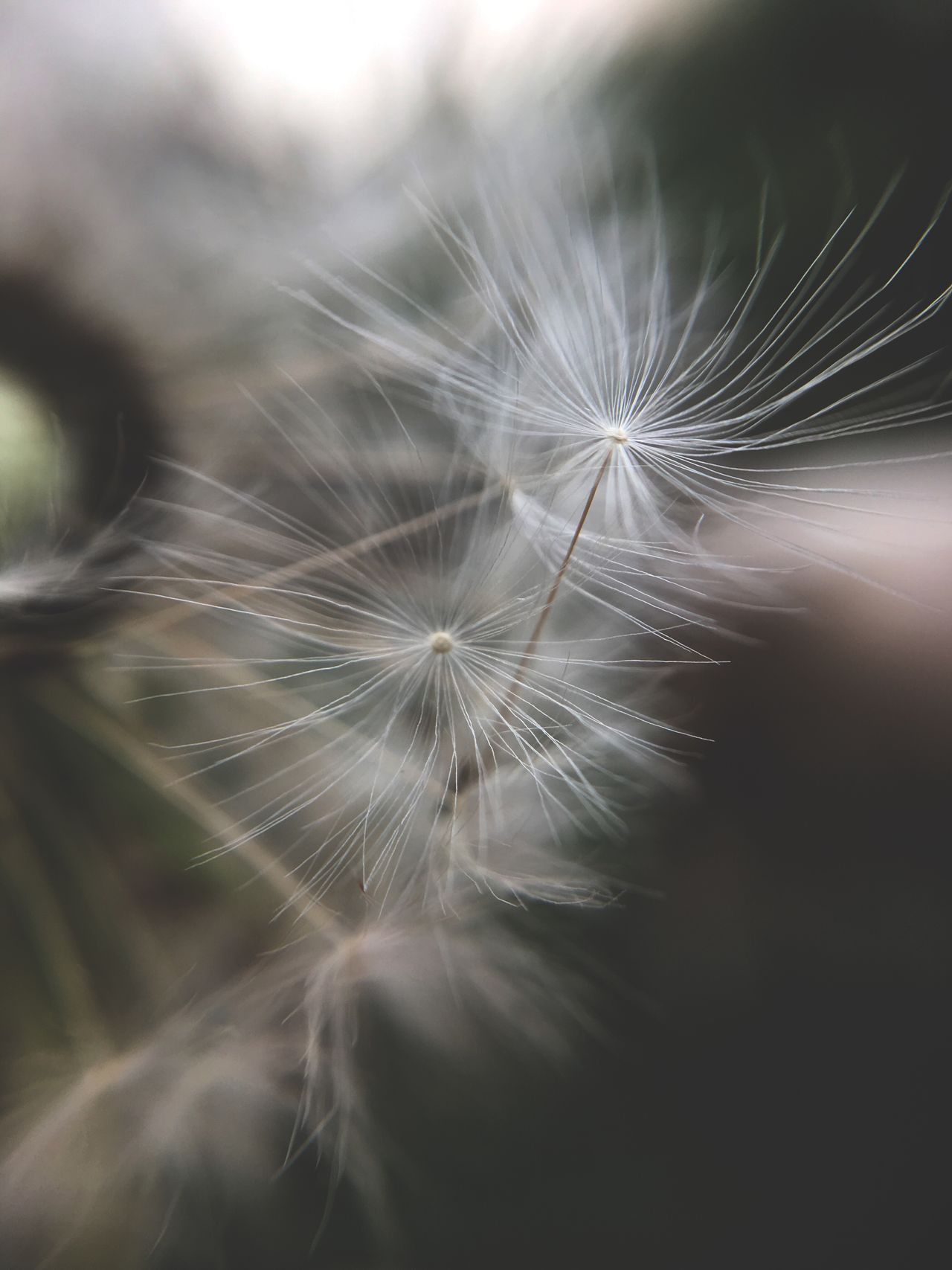 Dandelion Dandelion Seed Flower Softness Fragility Freshness Nature Close-up Focus On Foreground Flower Head Beauty In Nature Selective Focus Growth Uncultivated No People Outdoors Day Hope