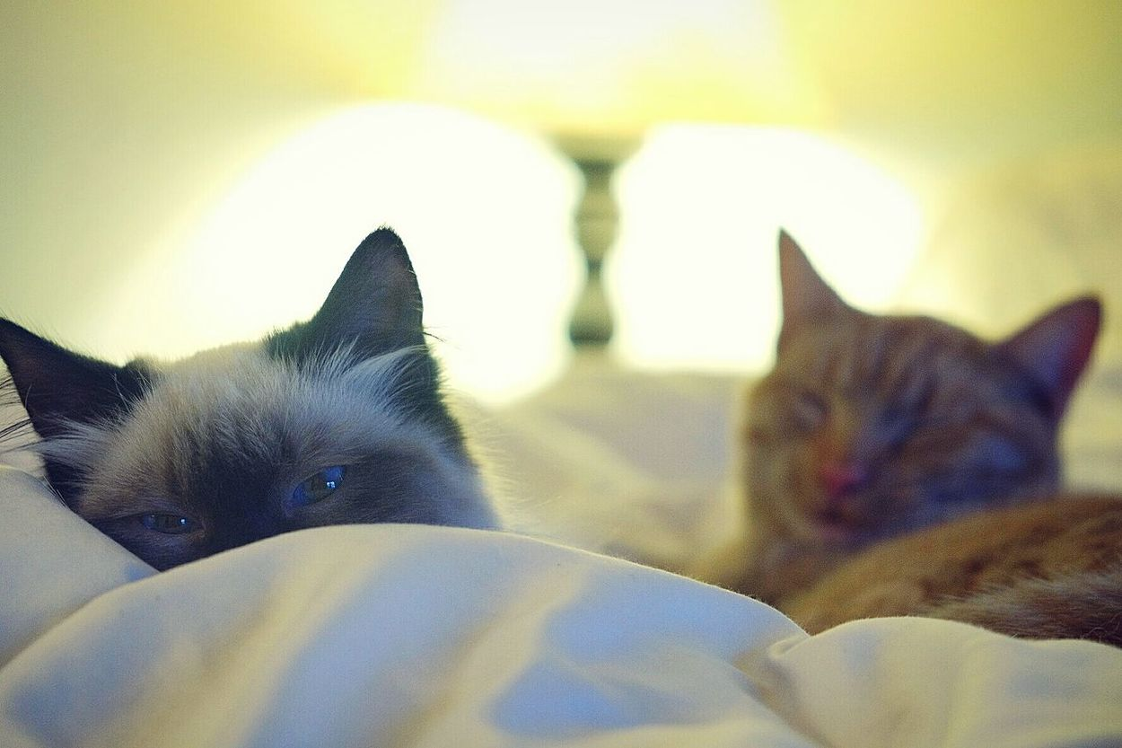 Sleeping Cats Catnap Chilling Cats In Bed Kitten Lazy Pets Lazy Cats